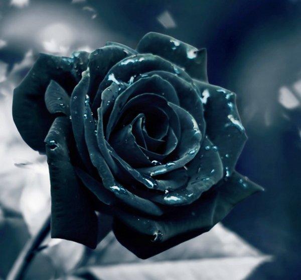 Le jeu de la rose - Page 3 2996856053_1_7_2ukiwKlE